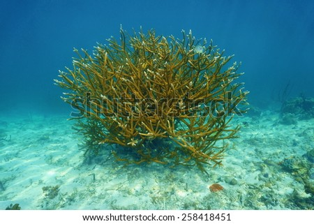 Colony of Staghorn coral, Acropora cervicornis, underwater in the Caribbean sea - stock photo