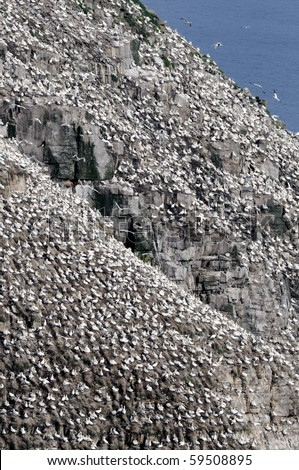 Colony of thousands of Northern Gannets - stock photo