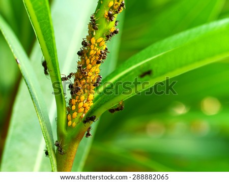 colony of yellow oleander aphids (Aphis nerii) protected by ants - stock photo