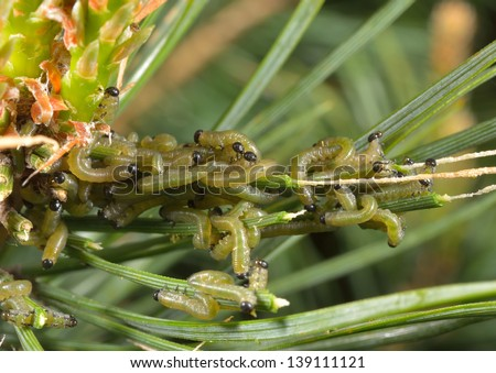 colony of young caterpillars, pine tree - stock photo