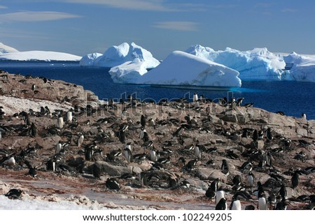 colony with penguins in Antarctica. Snow background - stock photo