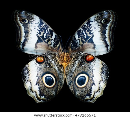 Color butterfly Owl , isolated on black