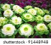 Color cabbage garden in Royal Flora 2011. This Festival cerebrates on The King 84, The Queen 80, and The Crowned Prince 60 years Birth day. - stock photo
