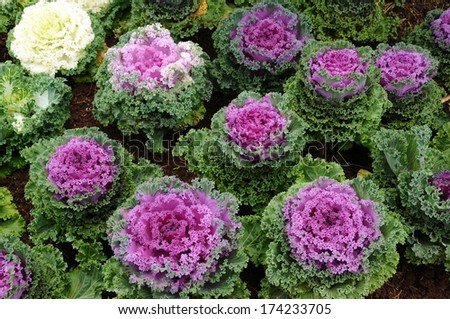 Color cabbage in the garden.  - stock photo