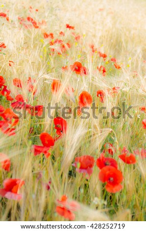 Color contrast: red poppy and yellow wheat, poppies in wheat field under the morning sun.