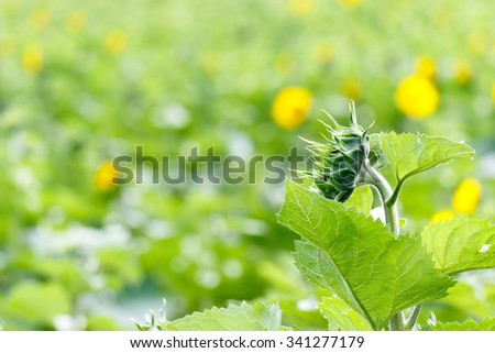 Color DSLR image of sunflower bloom with a narrow depth of field - stock photo