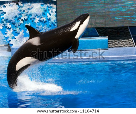Color DSLR picture of a killer whale jumping out of a pool.  The black and white orca is jumping out of blue water. Horizontal orientation with copy space for text - stock photo