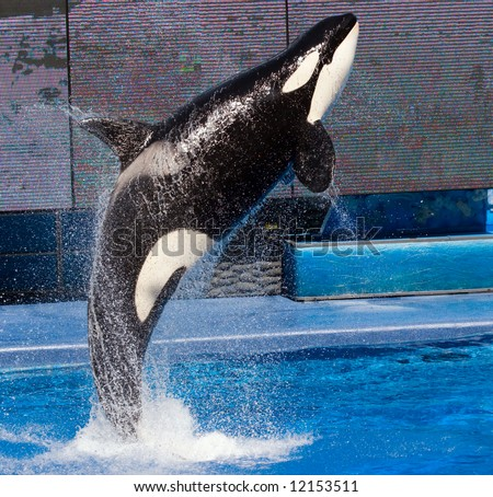 Color DSLR picture of a Killer Whale jumping out of a pool.  The orca is black and white and the water, streaming off his body is blue.  The image is in vertical orientation wtih copy space for text - stock photo