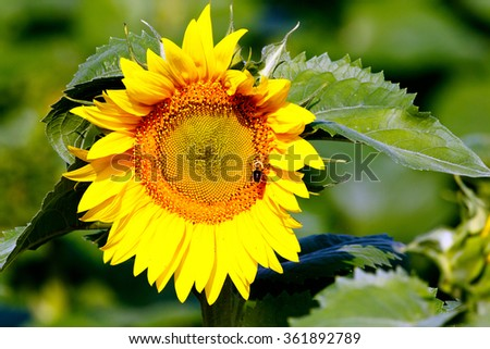 Color DSLR stock image of a single yellow sunflower bloom with a honey bee pollinating flower; horizontal with copy space for text - stock photo