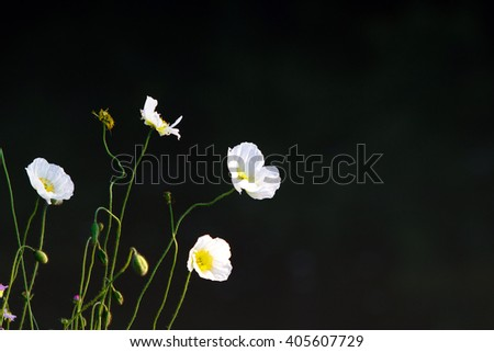 Color DSLR stock image of small, delicate white flowers, isolated on a black background. Horizontal with copy space for text - stock photo