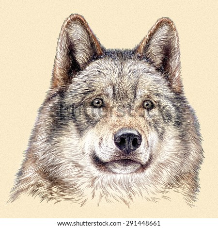 color engrave isolated wolf - stock photo