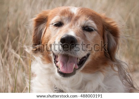 color head and shoulders portrait of a red haired collie type sheep dog in long dune grasses on a windy day at a beach in Gisborne, New Zealand