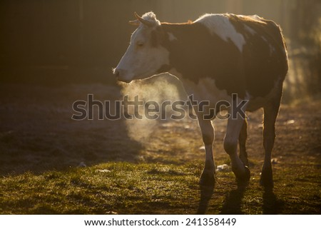 Color horizontal shot of a cow on a village road, at sunrise. - stock photo