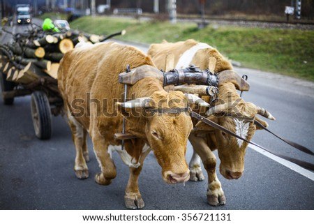 Color image of two oxen pulling a cart. - stock photo