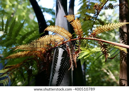 Color is added to the rain forest outside Wellington, New Zealand by a dead, golden branch of a black tree fern. This is New Zealand's largest fern, known in Maori as 'mamaku'. - stock photo