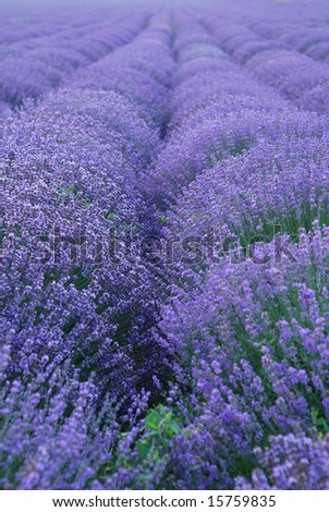 Color lavender field. herbal landscape of aromatic  plant - stock photo