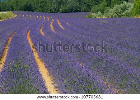 Color lavender field. Natural and herbal landscape in Provence, France. - stock photo