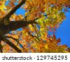 Color leafs of chestnut on blue sky background at autumn - stock photo