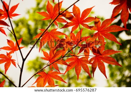 https://thumb7.shutterstock.com/display_pic_with_logo/167494286/695576287/stock-photo-color-leaves-in-kyoto-695576287.jpg