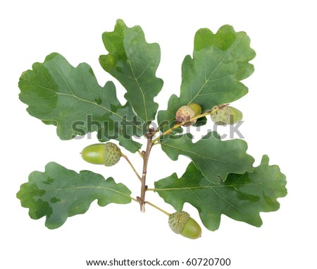 Color photo of green acorns and leaves on a white background - stock photo