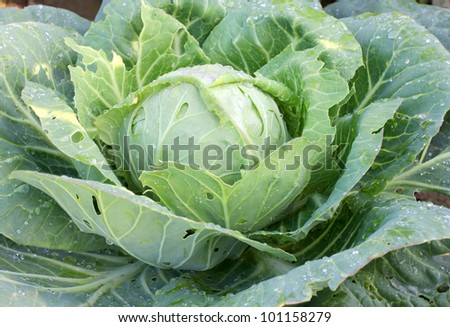 Color photo of green leaves of cabbage