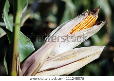 Color picture of a ear of corn - stock photo