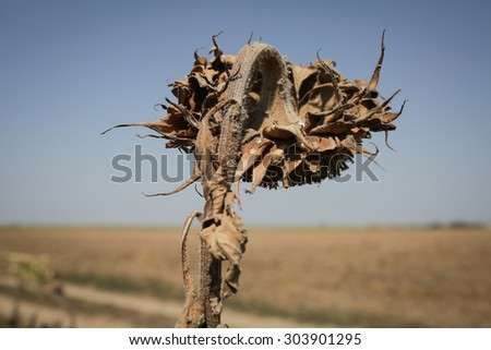 Color picture of a wilted sunflower plant on a hot day - stock photo