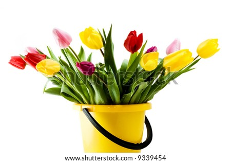 Color tulips in a yellow bucket. Isolated on white