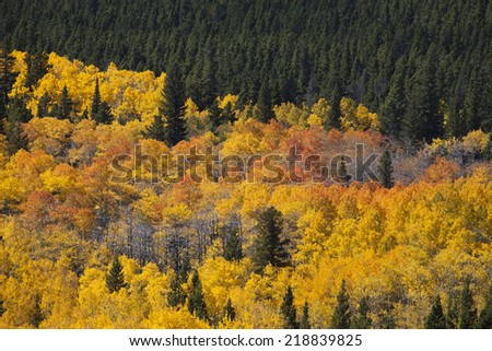 Colorado Aspens in Brilliant Yellow and Orange - stock photo