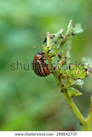 colorado beetle on potato leaf  - stock photo