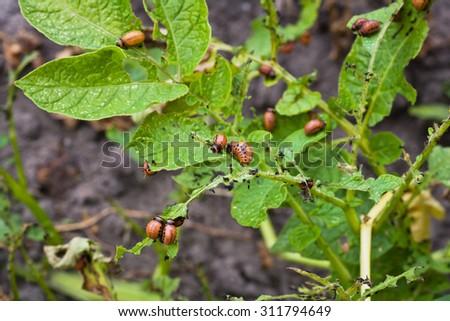 Colorado potato beetle larvae eat potatoes - stock photo