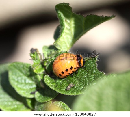 potato bug Asian