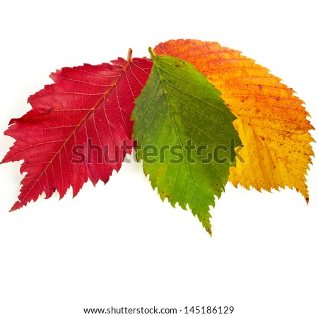 colored autumn fall leaves isolated on white background