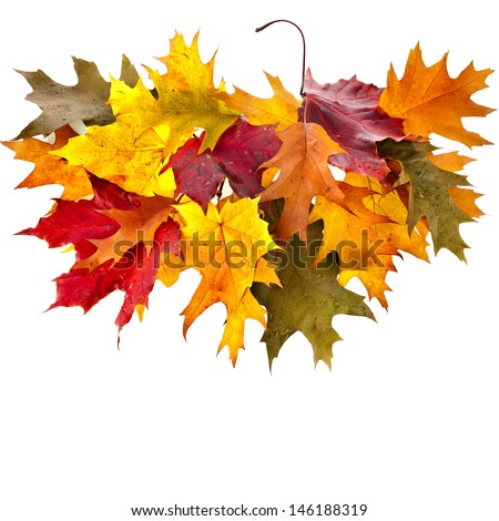 colored autumn fall leaves oak tree ( Quercus rubra ) isolated on white background  - stock photo