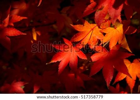 Colored autumnal foliage of Japanese maple