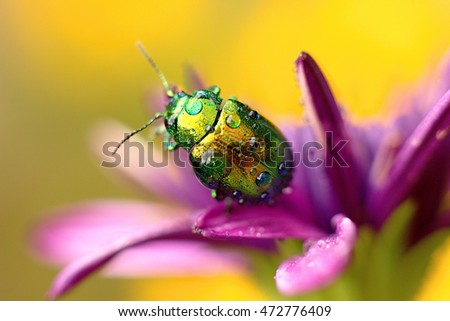 colored beetle (Linaeidea aenea) resting on a flower