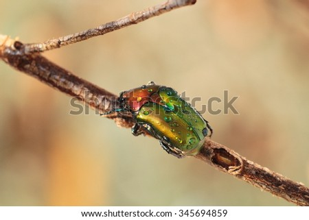 Colored beetle on a branch