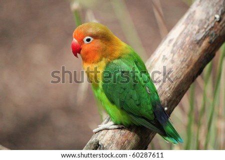 Colored bird agapornis-fischeri alone and standing on a branch - stock photo