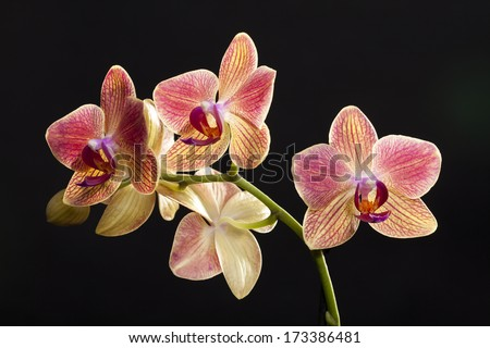 Colored cultivated orchid isolated over black background - ideal greeting card  - stock photo