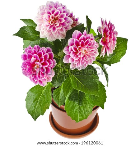 Colored Dahlia Flowers Plant in a pot Isolated on White Background - stock photo