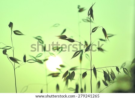 Colored effect image of oats at sunrise - stock photo