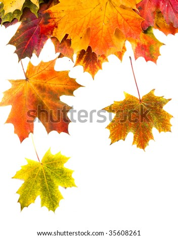 colored fallen maple leaves