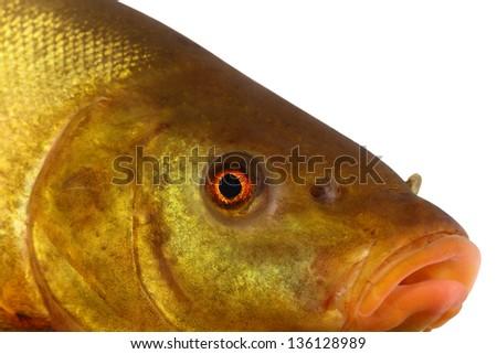 colored fish swimming free, carp, tench - stock photo