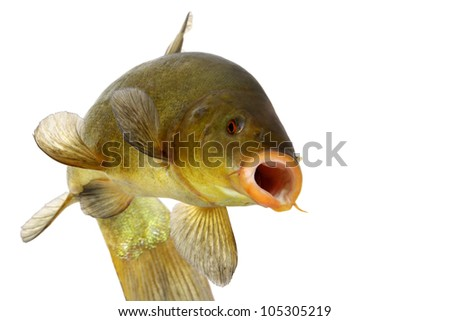 colored fish swimming free, carp, tench,fishing, - stock photo