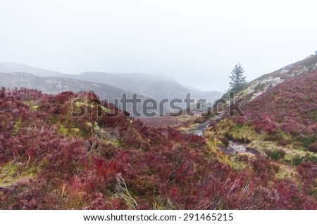 Colored heather in a wild moorland in the Scottish highlands, in a foggy winter day. - stock photo