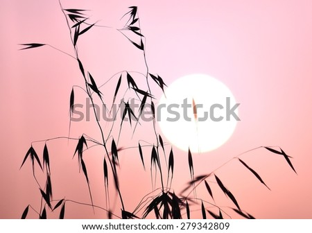 Colored image of oat twigs on great sun at dawn - stock photo