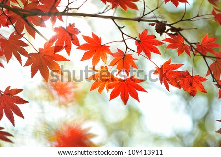 Colored Japanese maple leaf - stock photo