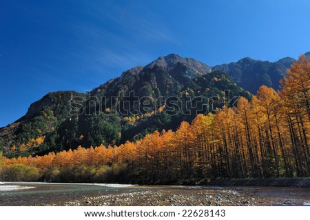 Colored leaves and the noble lineage of the Japanese Alpine Japanese larch	 - stock photo