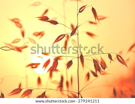 Colored photography of oat plants at sunrise - stock photo