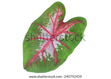 Colored taro leaf isolated white - stock photo